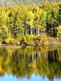 河边桦树林