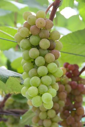 鲜美绿葡萄
