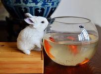 兔子与鱼缸