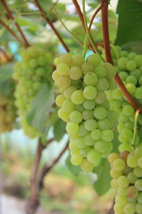可口诱人的绿葡萄