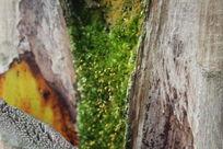 大树夹缝中的青苔图片