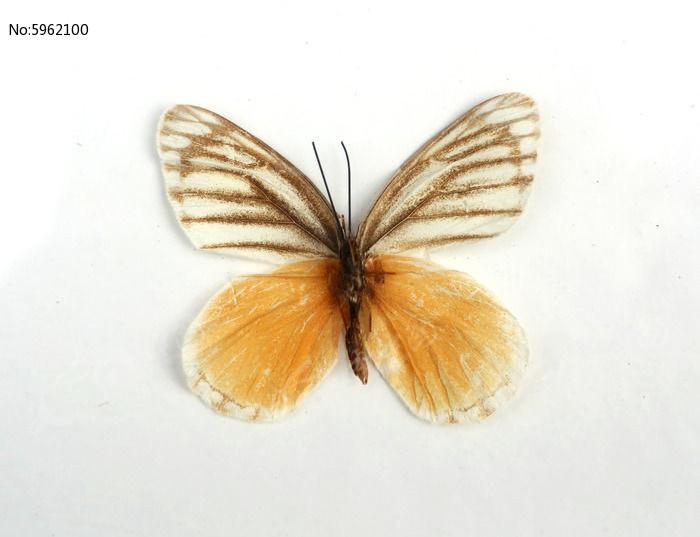 原创摄影图 动物植物 昆虫世界 奥古斑粉蝶标本