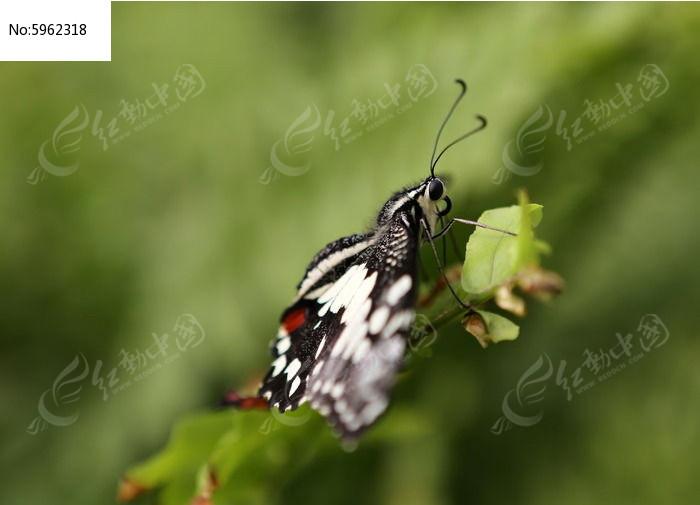 黑白纹蝴蝶侧面图片