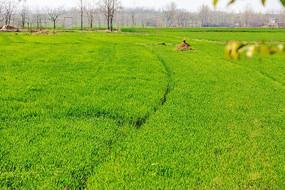 绿色的麦地