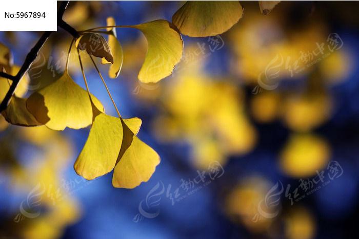 银杏树叶子图片,高清大图