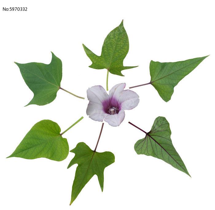 原创摄影图 动物植物 农作物 番薯花与叶子