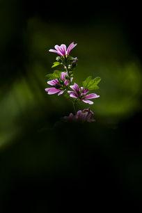 美丽的蜀葵花
