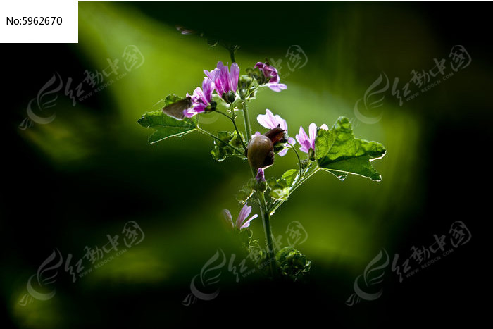 蜀葵花和蜗牛的画面图片,高清大图_陆地动物素材