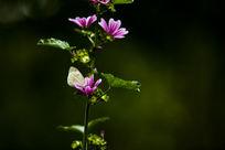 蜀葵花与蝴蝶