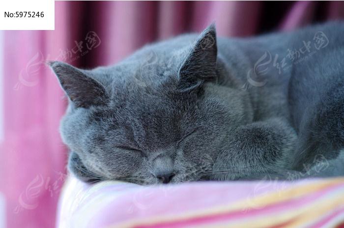 熟睡的英国短毛猫图片,高清大图_陆地动物素材
