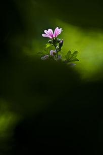 一朵美丽的蜀葵花