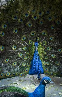 2只蓝色开屏孔雀