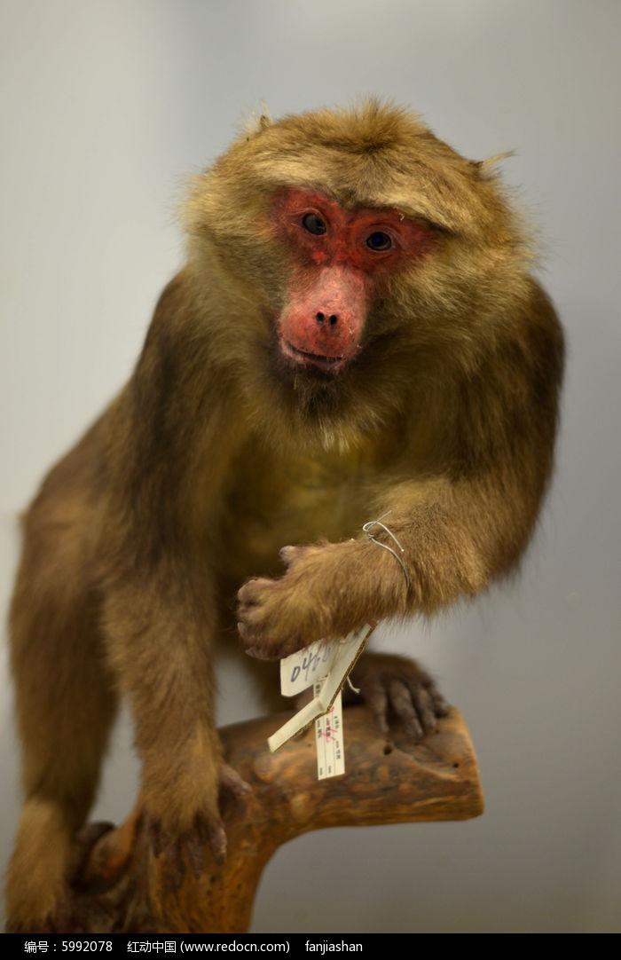 藏酋猴图片,高清大图_陆地动物素材