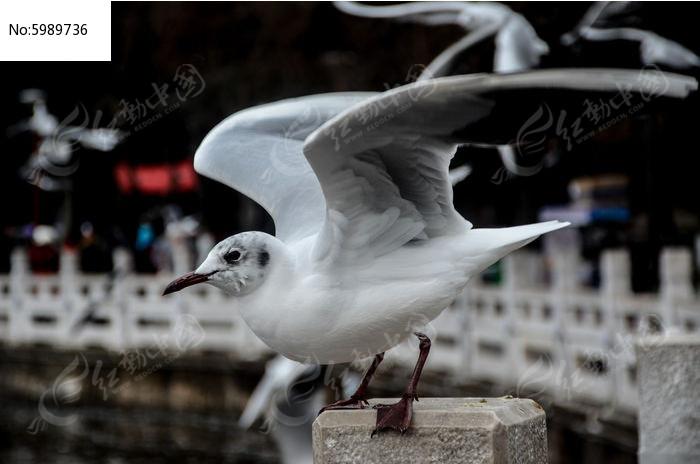 挥动翅膀的红嘴鸥图片,高清大图_空中动物素材