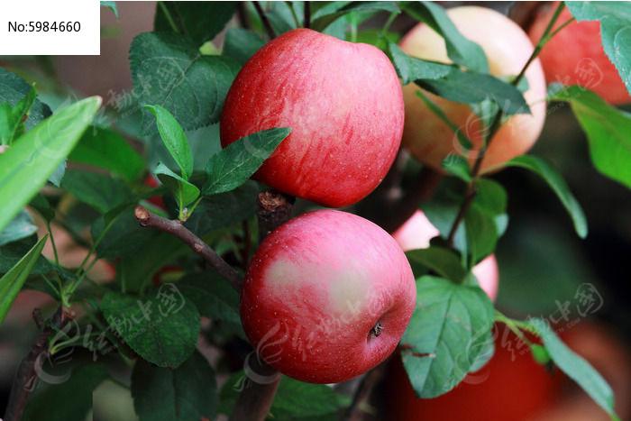 原创摄影图 动物植物 花卉花草 树枝上的红苹果  请您分享: 红动网