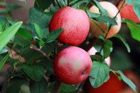 树枝上的红苹果