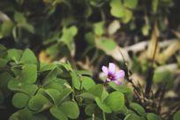 四叶草丛中开出的一朵淡紫色小花