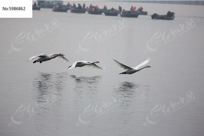 天鹅贴近水面飞行图片,高清大图_空中动物素材