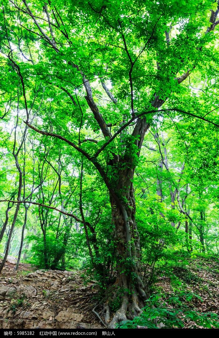 一棵古靑檀树图片,高清大图_树木枝叶素材
