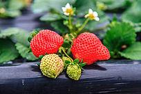 草莓与花朵