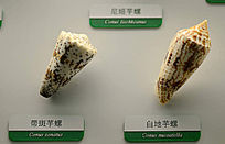 带斑芋螺和白地芋螺