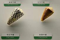 带斑芋螺和焦黄芋螺
