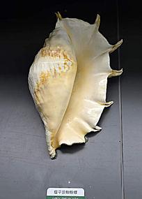 带刺瘤平顶蜘蛛螺