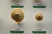 大轮螺和配景轮螺