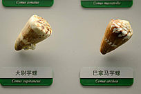 大尉芋螺和巴拿马芋螺