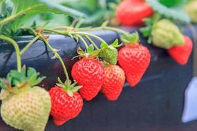 挂在藤上的草莓
