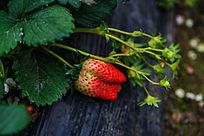 挂在枝头的草莓