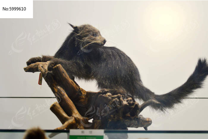 原创摄影图 动物植物 陆地动物 黑狐  请您分享: 红动网提供陆地动物
