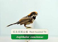红头长尾雀