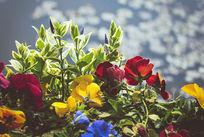 湖水边的五彩花朵
