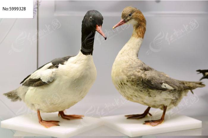 尖嘴黑颈麻鸭图片,高清大图