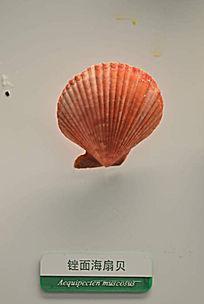 锉面海扇贝