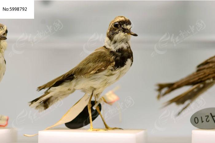 原创摄影图 动物植物 空中动物 三趾滨鹬  请您分享: 红动网提供空中