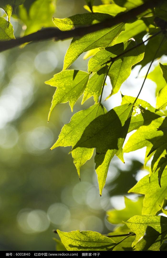 叶子的光影图片,高清大图_树木枝叶素材