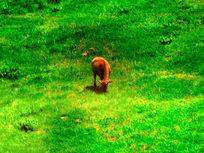 草原上的小黄牛