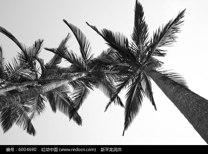 大槟榔树图片