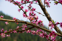 树枝开满腊梅花图片