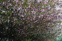 铺天盖地海棠花