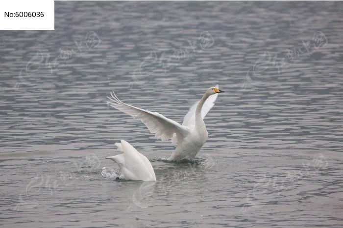 天鹅煽动翅膀图片