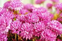 粉色金盏菊