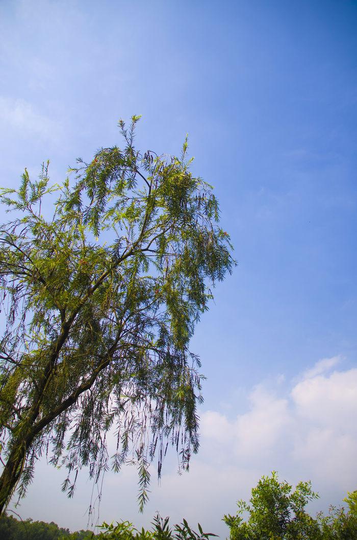 原创摄影图 动物植物 树木枝叶 蓝天下大树