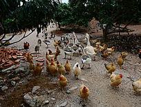 一群鸡鸭鹅