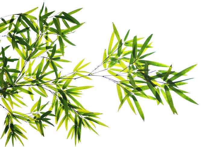 原创摄影图 动物植物 树木枝叶 高清竹叶实拍