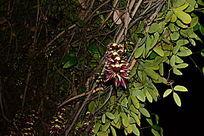 花棚下的禾雀花