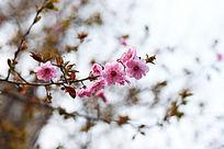 樱花俏枝头