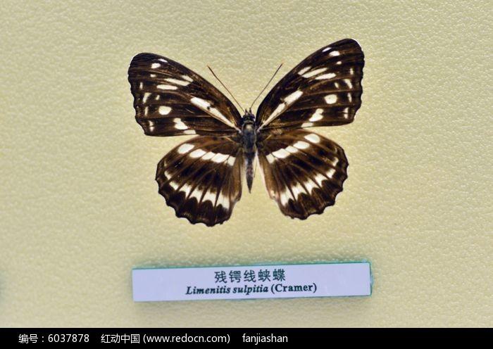 加筋格容�d_残锷线蛱蝶